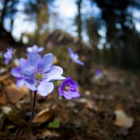 Z jara je okolí lomu obkveteno jaterníky…