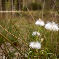 Z kraje dubna tu krásně kvete suchopýr